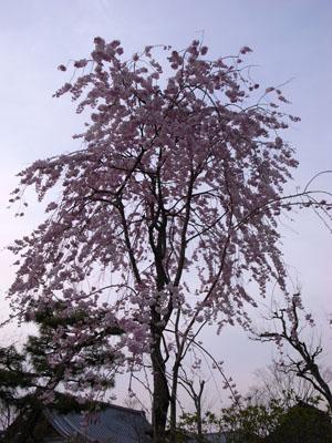 kyotosakura18