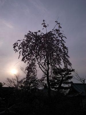 kyotosakura19