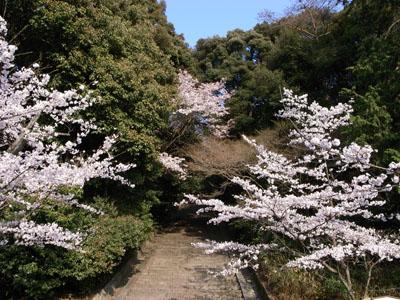 kyotosakura3