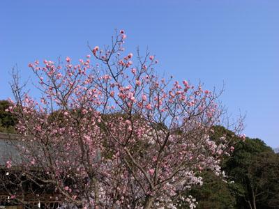 kyotosakura6