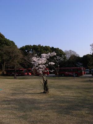kyotosakura7