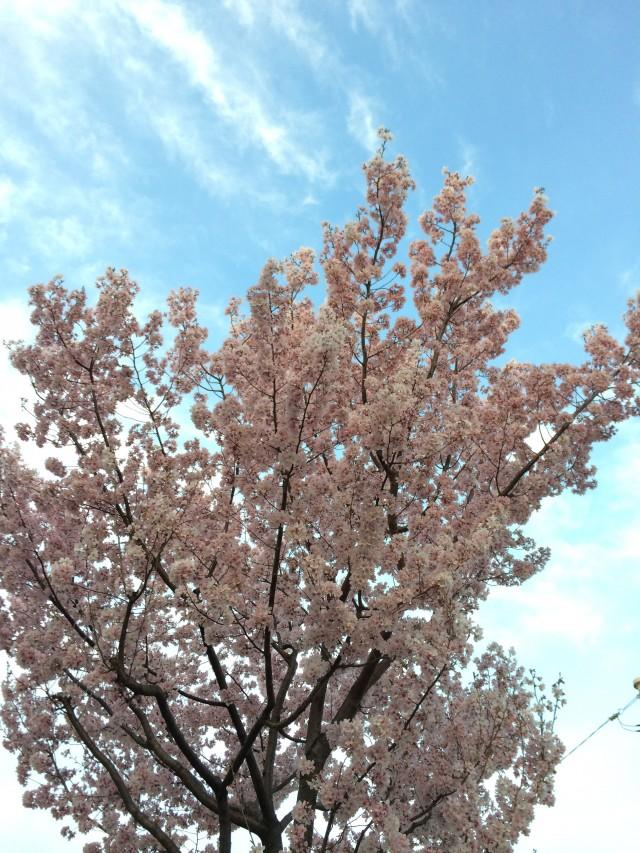 sakura-sky1