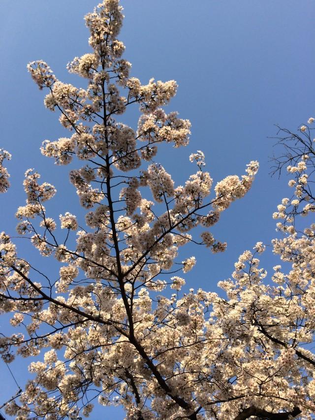 sakura-sky21