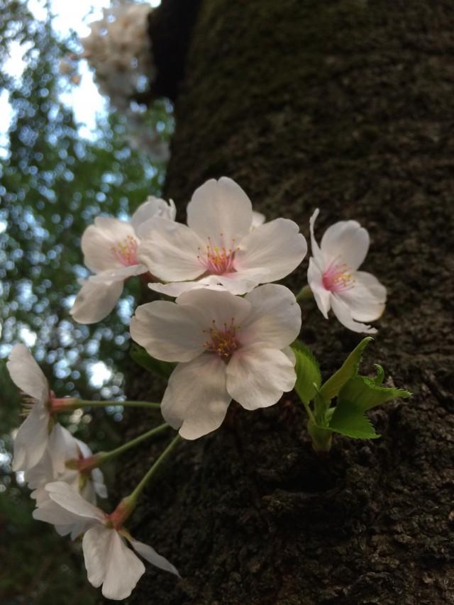 sakura-wood1