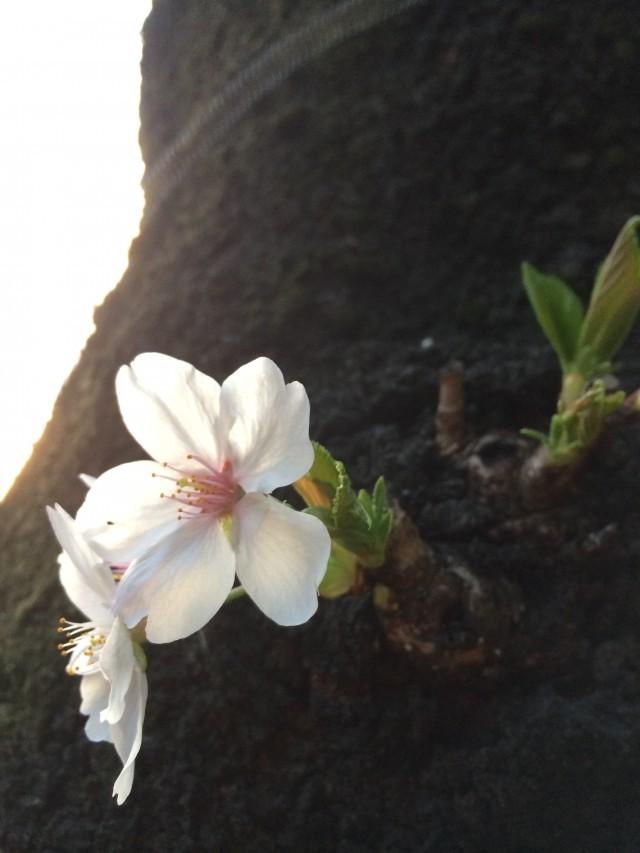 sakura-wood2